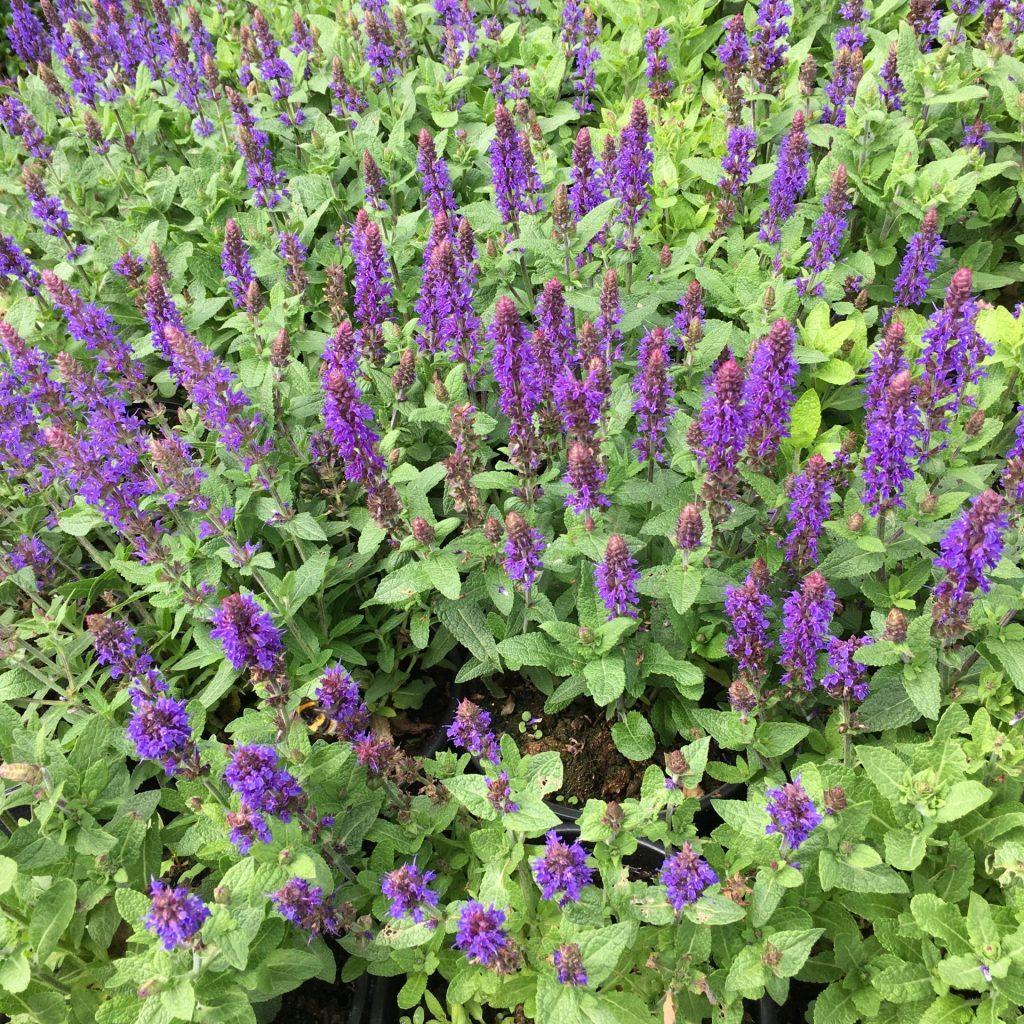 Salvia deep blue