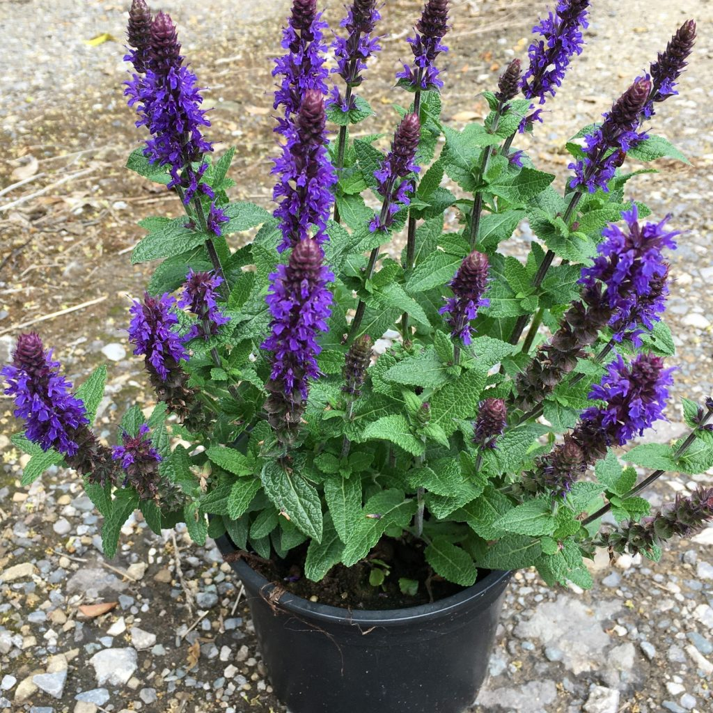 Salvia nemerosa 'Sensation Deep Blue'