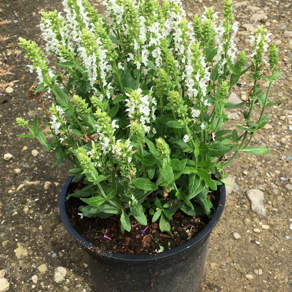 Salvia nemerosa 'Sensation White'